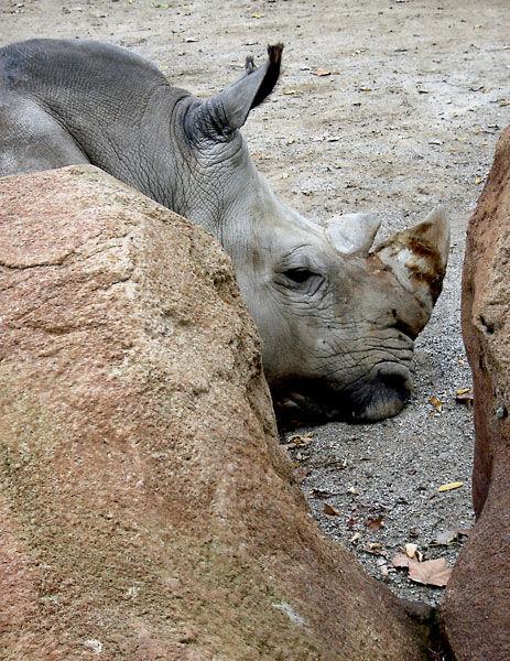 Rinoceront tímid