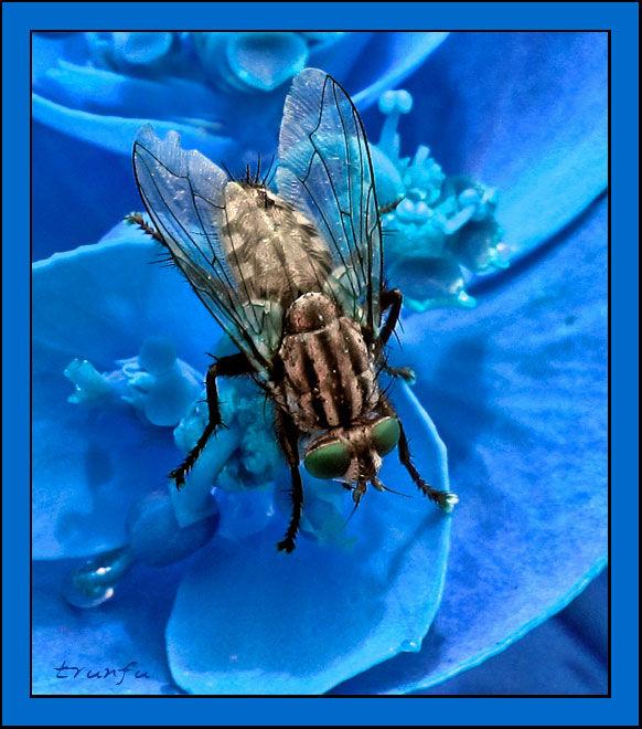 Fly in blue