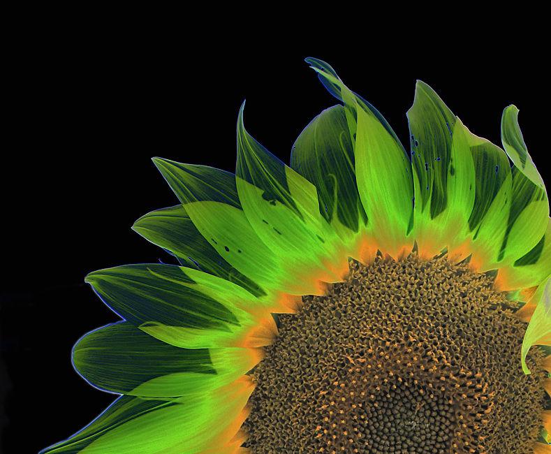 gira-sol-aritzat