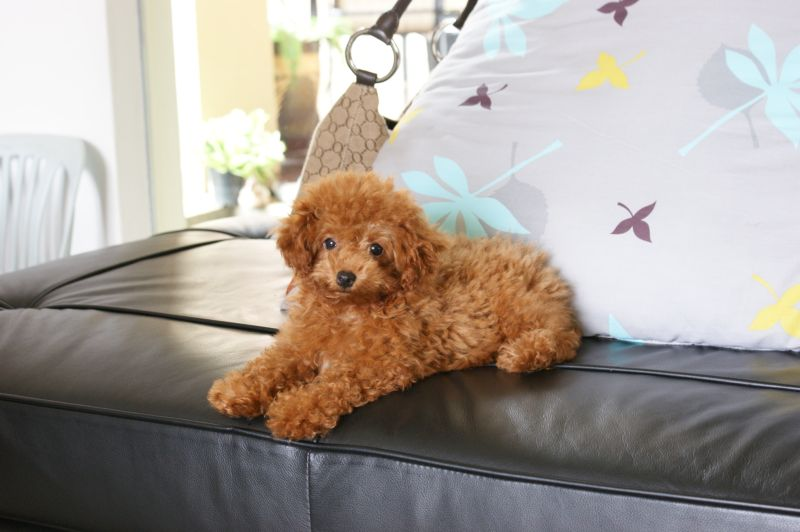 Nicol The Toy Poodle
