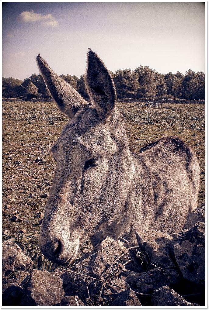Un aset / A donkey