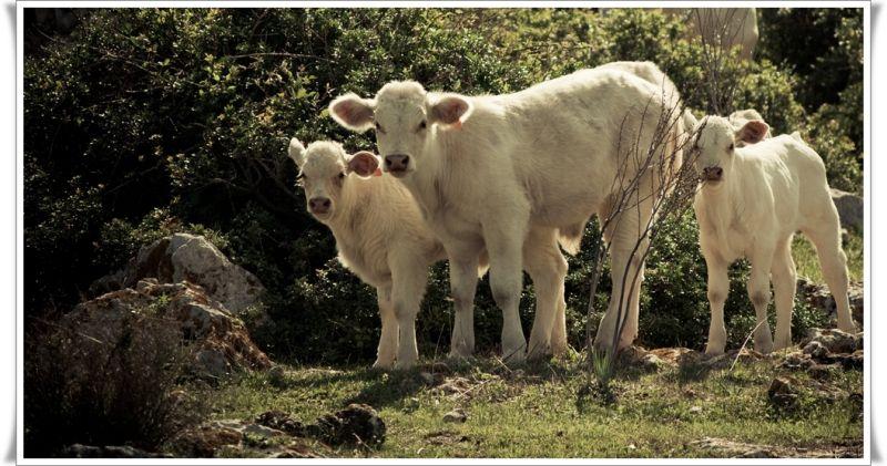 Família de vaques / Family cow