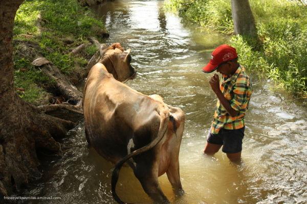cow boy bath water river stream