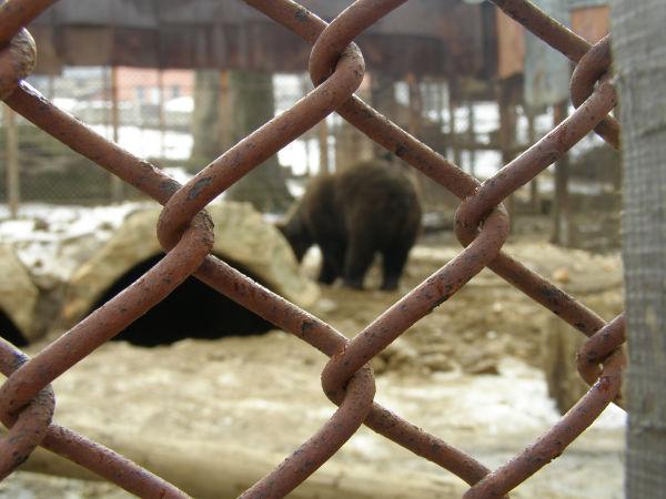 Bear imprisoned