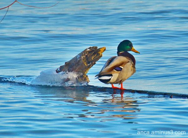 Ducky 1