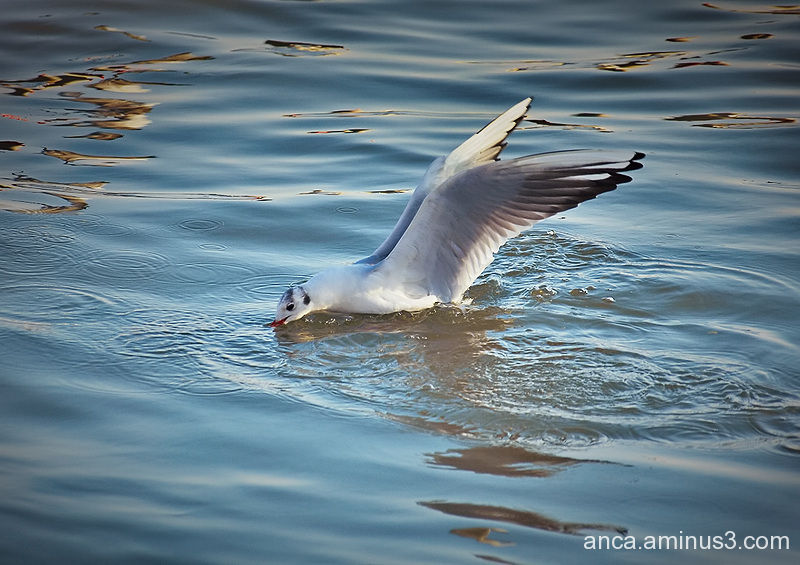 Seagull 2/5