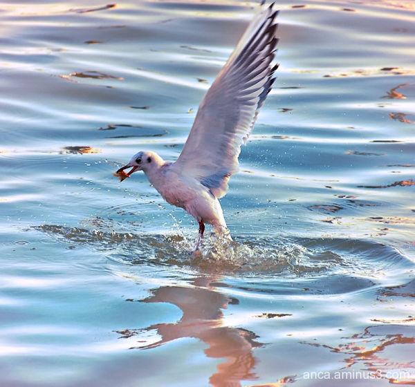 Seagull 3/5