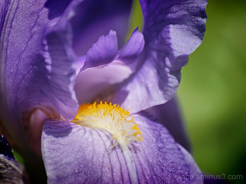 Iris/Stanjenel