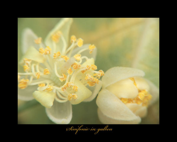 YELLOW  SYMPHONY
