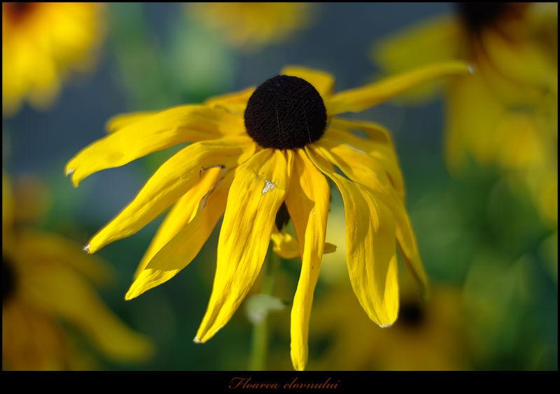 CLOWN FLOWER