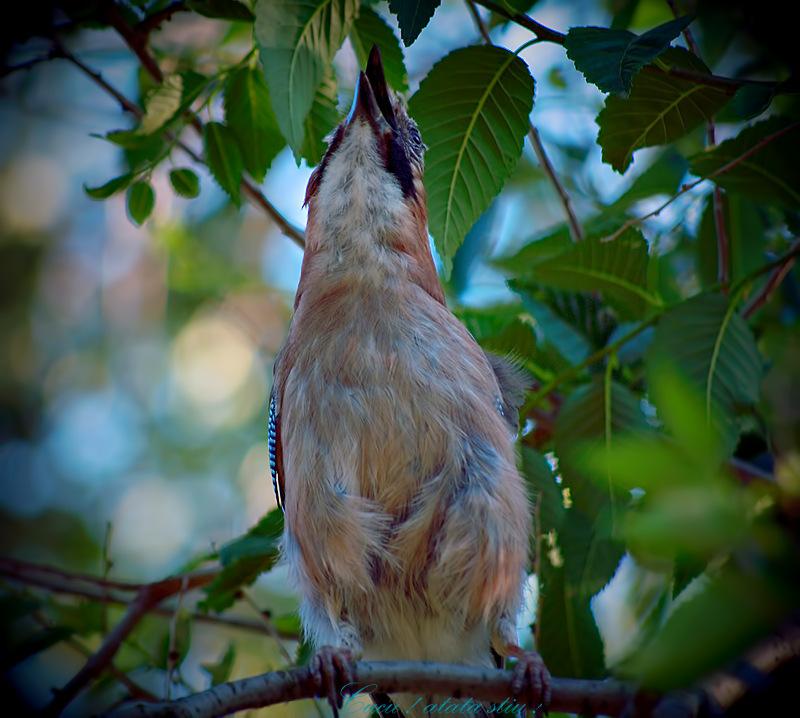 Cuckoo ! 2