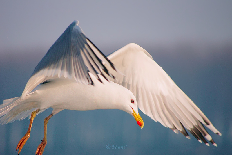 My friend, Jonathan Livingston Seagull 1