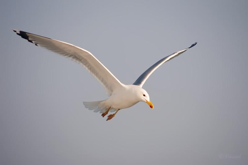 My friend, Jonathan Livingston Seagull  7