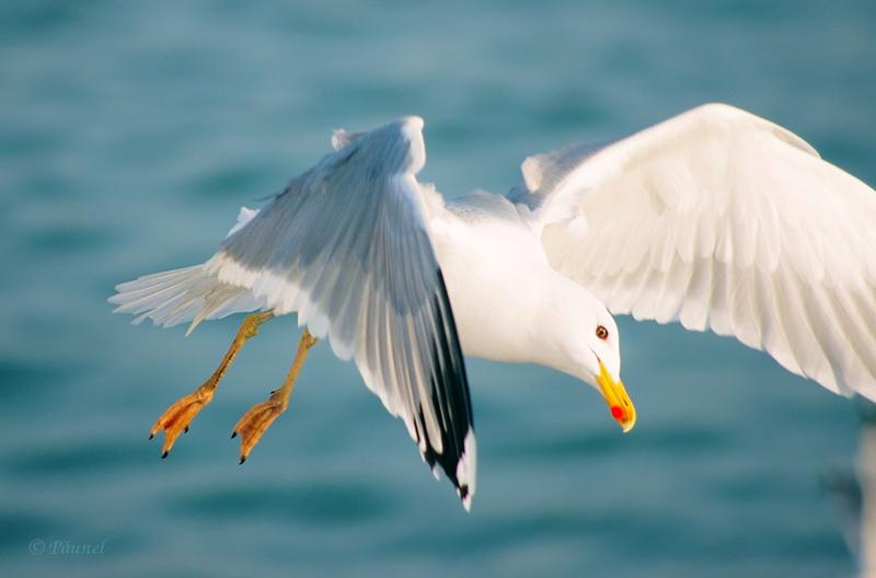 My friend, Jonathan Livingston Seagull 13