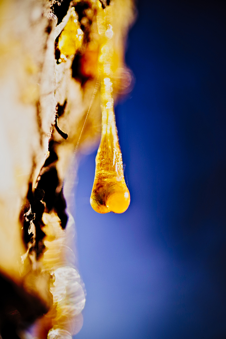 Capsella bursa pastoris, like