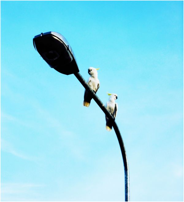Two Sulphur Crested Cockatoos on a Lampost