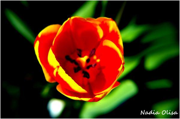 Inside of a Tulip
