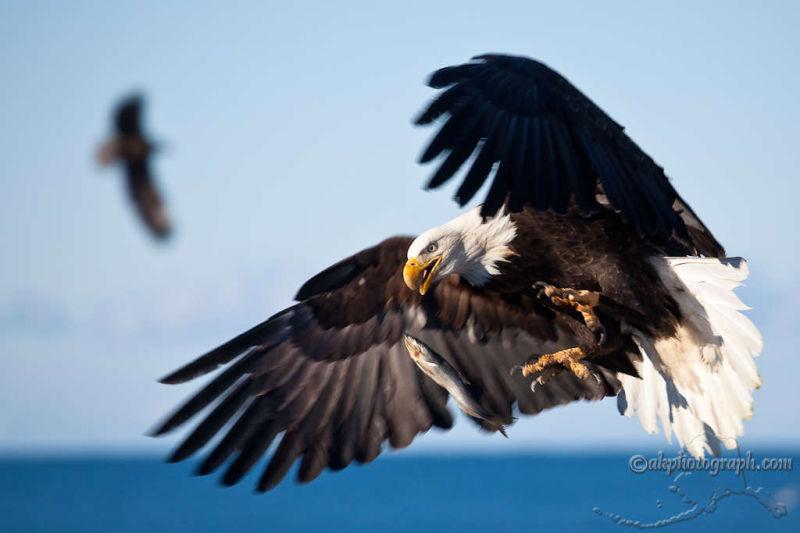 Homer Alaska Eagle