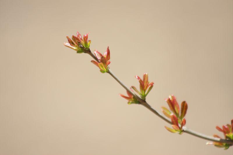 شاخه بهار انار