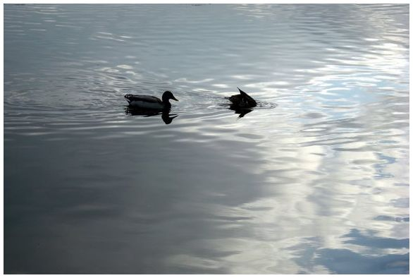 ducks uk