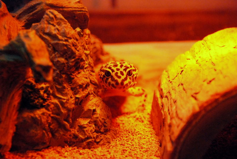 Leopard gecko on the prowl.