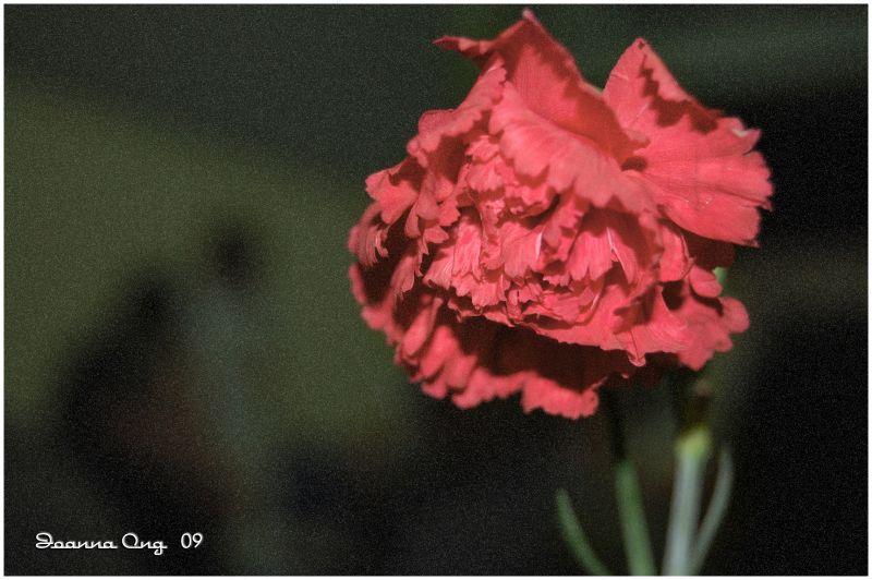 red flower carnation