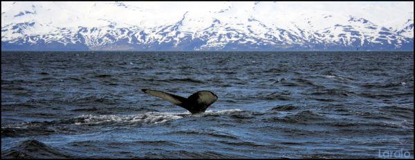 Húsavík, iceland, whale