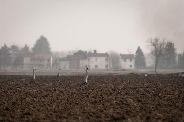 herons in lomellina's fields