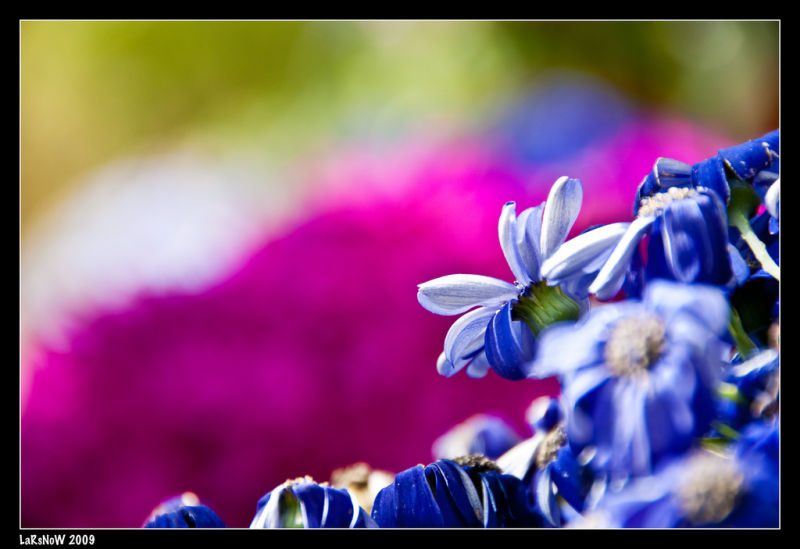 Belfast Botanic Gardens - Blue Flowers
