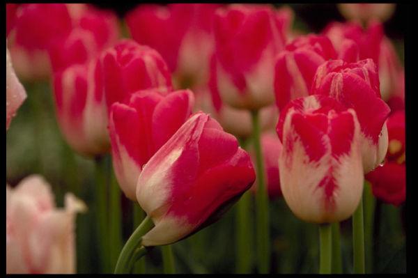 Une tulipe penser au sujet de