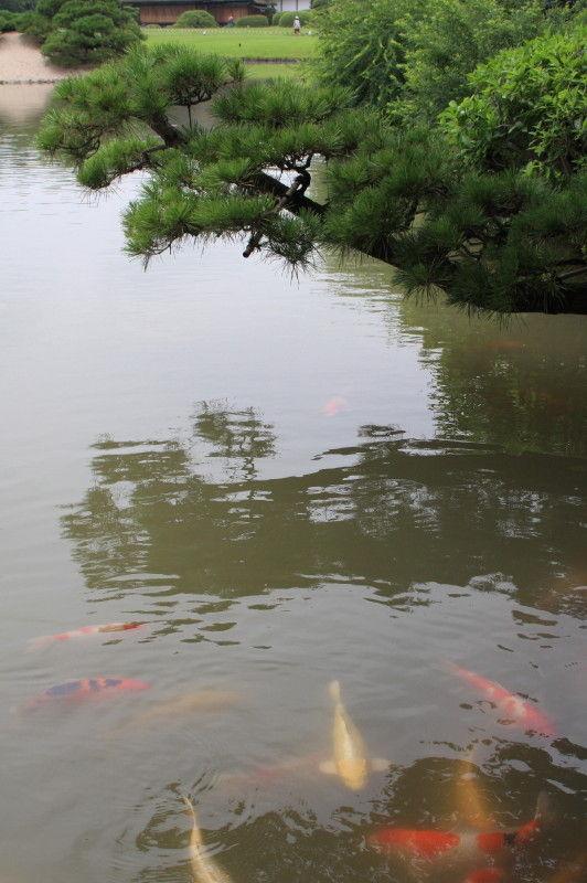 Pine tree, water, and carp