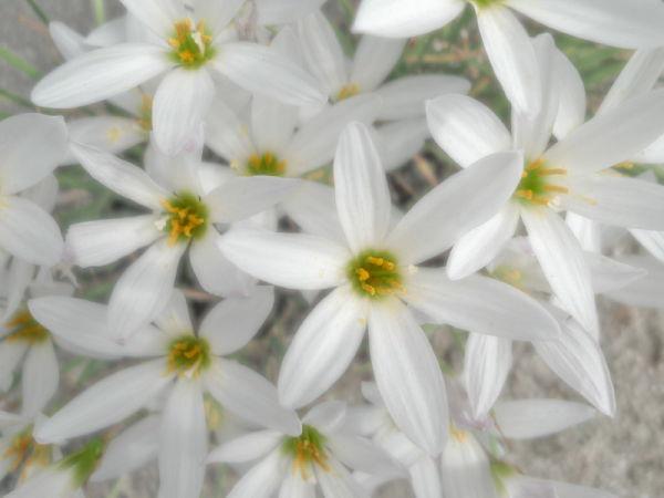 Petite Fleur Blanche #1/3