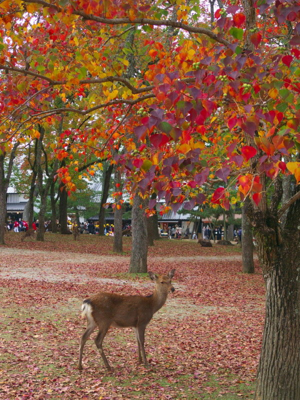 A deer under a chinese tallow tree