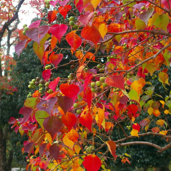 Chinese tallow tree in autumn