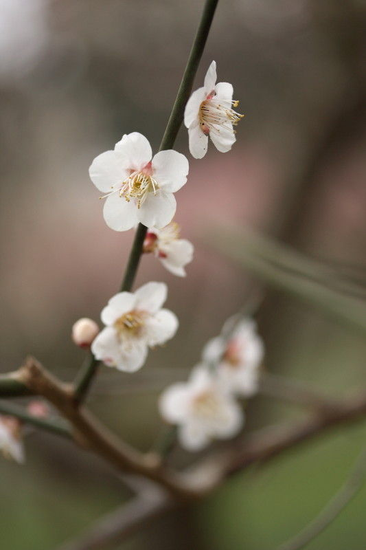 Season of plum-blossom #4