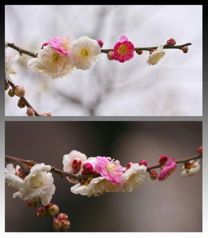 Season of plum-blossom #5