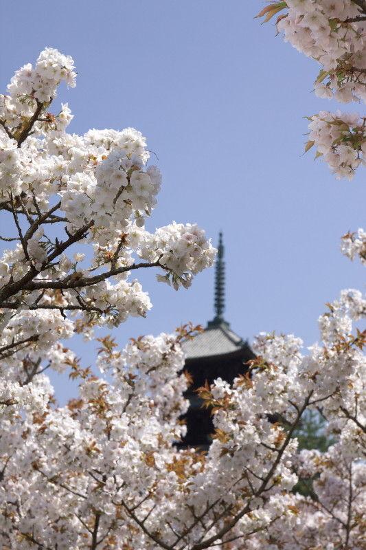 御室桜 #2