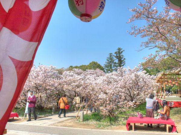 御室桜 #3