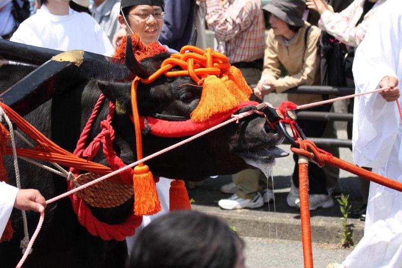 Slobbering ox