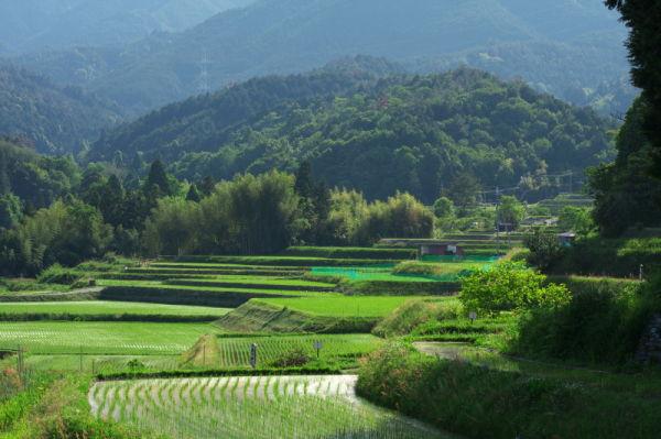 Rice planting season #1