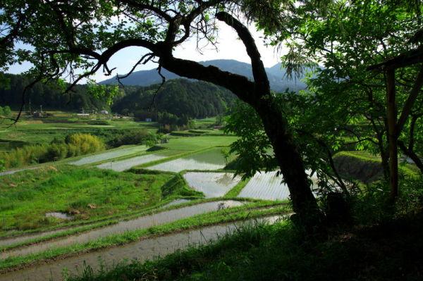 Rice planting season #2
