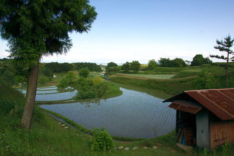 Rice planting season #4