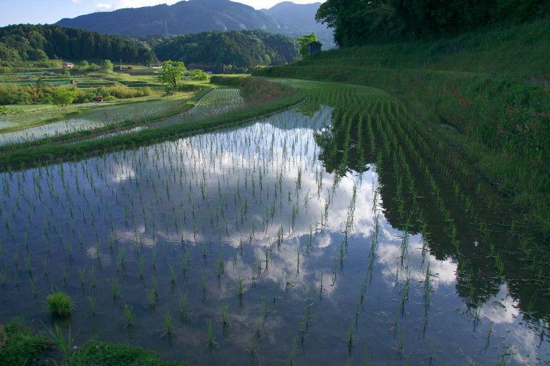 Rice planting season #5