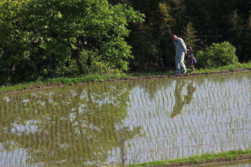 Rice planting season #6