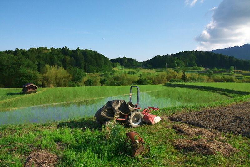 Rice planting season #7
