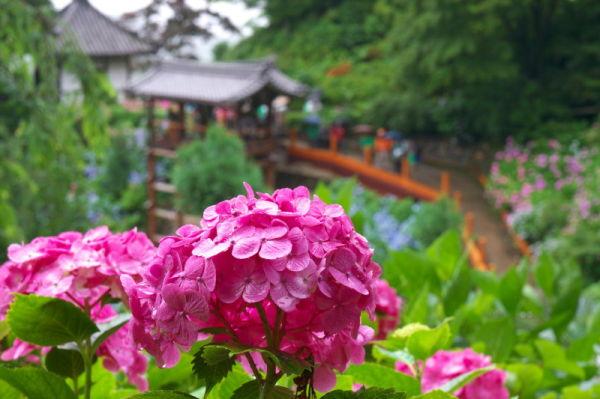 雨の善峯寺 Rainy day, hydrangea in the temple #4