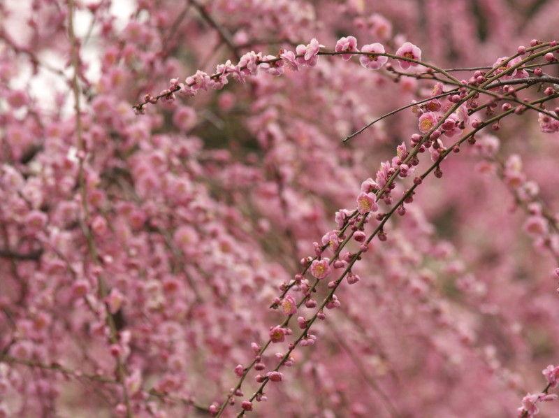 Plum blossom 2011 #2