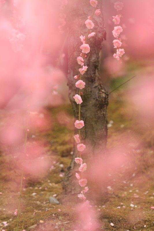 Plum blossom 2011 #3