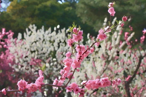 Season of peach blossom #1