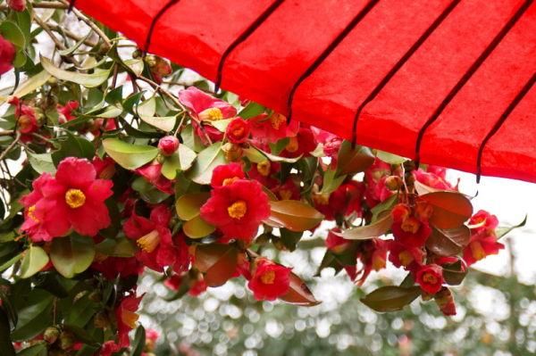 Camellia after rain #3